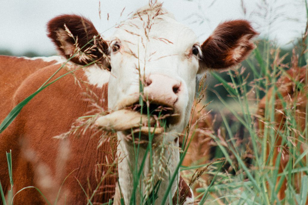 cow eating high grass