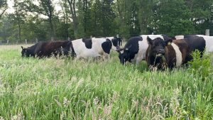 Cows grazing in a paddock with high grasses 2