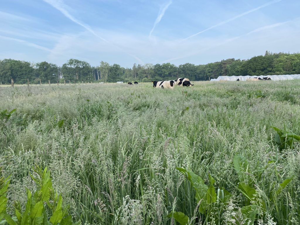 Cows grazing in a paddock with high grasses 1